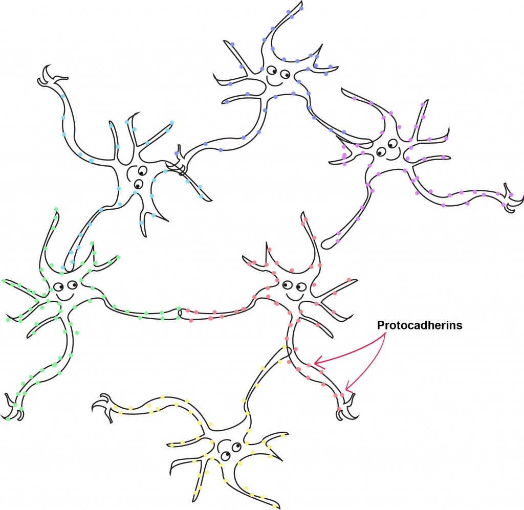 neurons pathway organization connections - HD1024×997