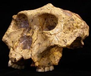 hominiid skull