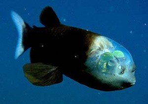 Photo of deep sea fish  (Macropinna  Microstoma) with a transparent head
