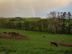 paddock with cattle &rainbow