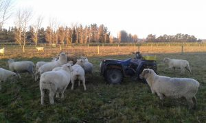 Sheep in a paddock with a 4 wheeled quad bike