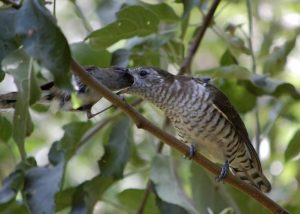 Shining cuckoo/pīpīwharauroa being fed by its host parent, a grey warbler/riroriro.