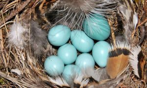 The larger blue egg is that of the parasitic common cuckoo. The cuckoo's egg looks very similar to those of the host, a common redstart