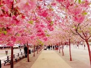 Cherry Blossoms , Sakura in Japan