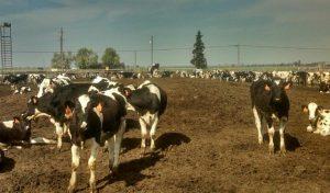 Havelock North blog Cows in muddy field