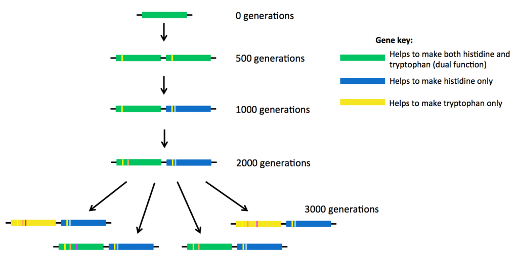 Tree diagram depicting evolution of genes during the experiment.