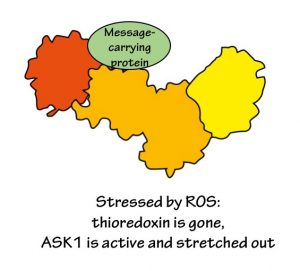 Stressed by ROS: thioredoxin is gone, ASK1 is active and stretched out.