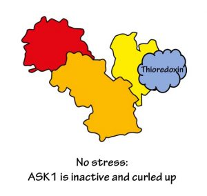 No stress: ASK1 protein is inactive and curled up