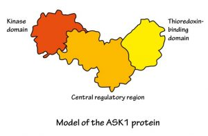 Model of the ASK1 protein with kinase domain on the left, central regulatory region in the middle, and thioredoxin-binding domain on the right.