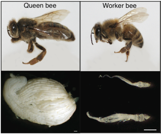 Photos of a queen honey bee and a worker bee and their respective dissected ovaries. The queen ovary is large and round, the worker ovaries are small and thin.