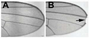Photo of fruit fly wings, one with a notch on the tip and one without.