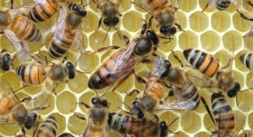 A large queen honeybee sits on honeycomb, surrounded by her smaller worker bees.