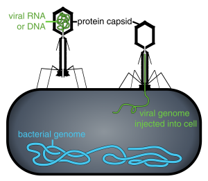 Diagram of phage injecting its genome into bacteria.
